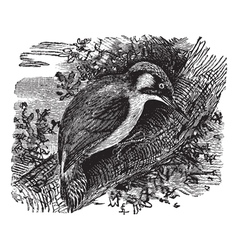 Woodpecker vintage engraving vector