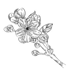 apple branch with flower ink sketch on white vector image