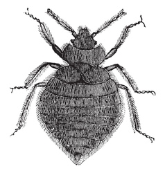 Bed bugs vintage engraving vector