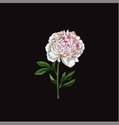 Hand drawn gently pink peony flower isolated vector