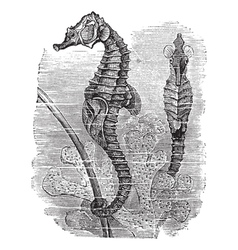 Seahorse vintage engraving vector