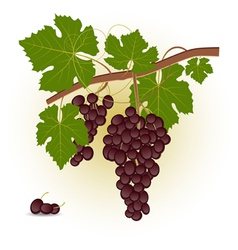 Red grape branch vector