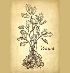 Peanut plant vector