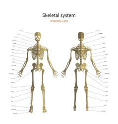 Anatomy guide of human skeleton with explanations vector