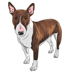 Bull terrier dog in black and tan vector