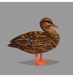 Realistic bird Wild Duck on a grey background vector image