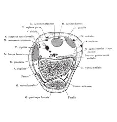 Cross section through patella vintage vector