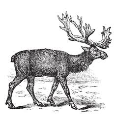 Reindeer vintage engraving vector image