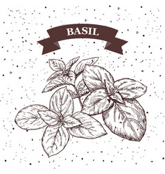Basil herb and spice label engraving vector