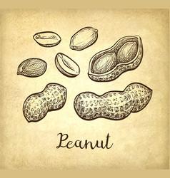 Ink sketch of peanuts vector