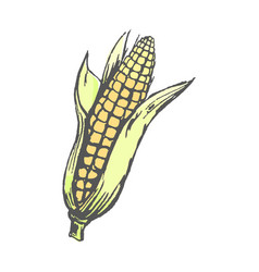 Ripe corn cob with leaves isolated vector