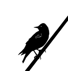 Starling vector image vector image