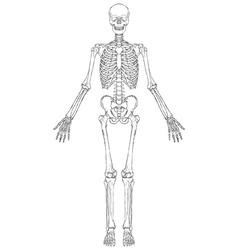 Human skeleton vector