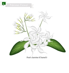 Poets Jasmine The National Flower of Pakistan vector image