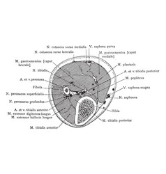 Cross section through leg three inches below knee vector