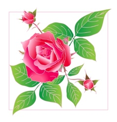 Beautiful rose isolated on white vector image