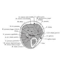 Cross section through upper third of lower leg vector