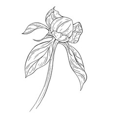 Peony bud ink sketch on white background vector