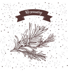 Rosemary herb and spice label engraving vector