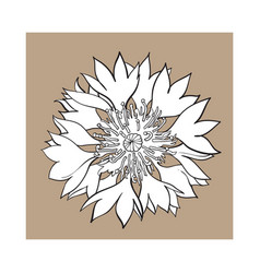 open cornflower blossom top view sketch style vector image