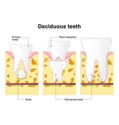 Deciduous tooth vector