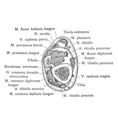 Cross section of leg two and a half inches above vector