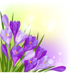 Spring flowers crocus natural background vector image