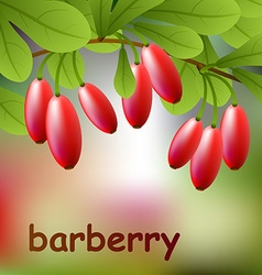 Red juicy barberry on a branch for your design vector image