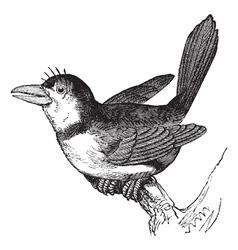 Puffbird vintage engraving vector image
