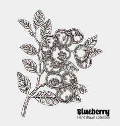 Sketchy blueberry branch hand drawn berries vector