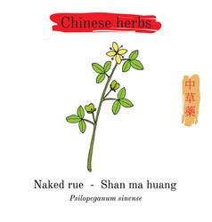 Medicinal herbs of china naked rue psilopeganum vector