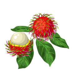 Rambutan isolated on white background vector