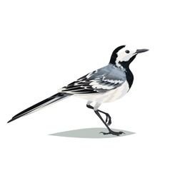 Realistic bird Wagtail on a white background vector image
