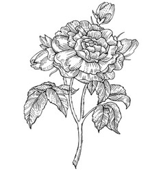 rose flower engraving style vector image vector image