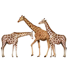 Three tall giraffes on white background vector