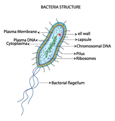 Structure of a bacterial cell cartoon vector