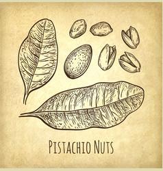 pistachio nuts set vector image vector image
