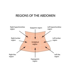 Abdominal region on isolated vector