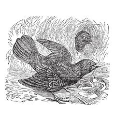 Bowerbird Vintage Engraving vector image