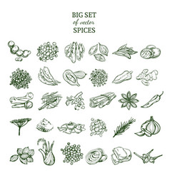 Hand drawn organic spices set vector