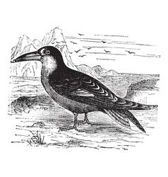 Black Skimmer vintage engraving vector image