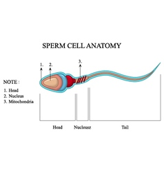 Human sperm cell anatomy vector