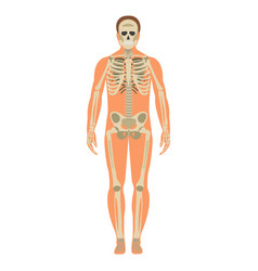 Skeleton wuth body icon human skeleton front side vector