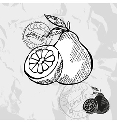 Hand drawn decorative pomelo vector