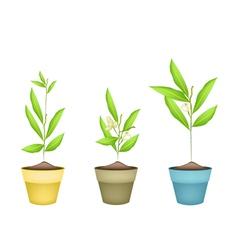 Beautiful ylang ylang flowers in terracotta pots vector