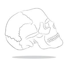 Cranium vector