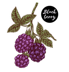 Hand drawn color sketch berries ripe blackberry vector