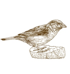 Engraving sparrow vector