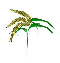 Green colors of unripe millet on white background vector