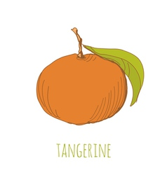 Tangerine vector image vector image